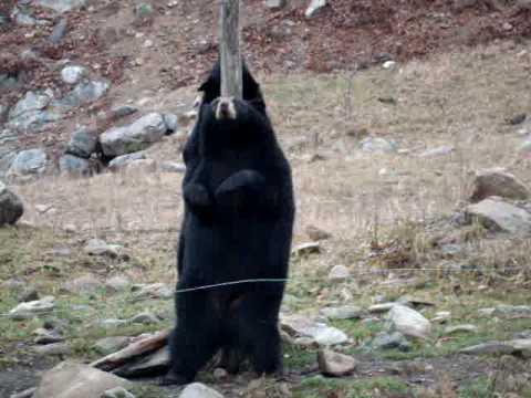 Medveđi striptiz! :)
