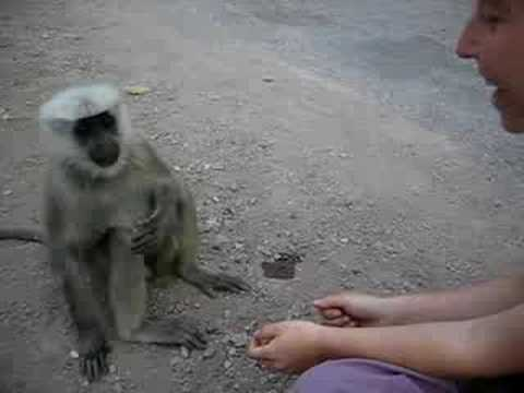 How clever are the Langur monkeys of Rishikesh, India??