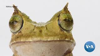 Thought Extinct, Horned Frog Rediscovered in Ecuador Rainforest - VOAVIDEO