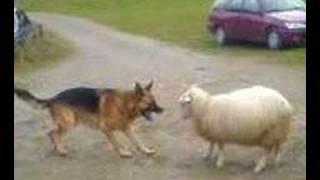 犬の挑発を真っ向から受け止める羊。逃げろよw