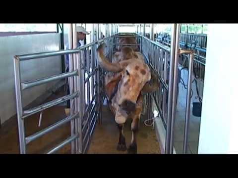 Vacas Gir Leiteiro em ordenha no Troncão