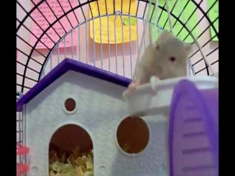 Funny Hamster falling down - Caidas graciosas de animales