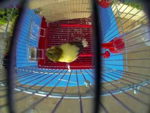 Gloster Canary singing, bird sing song 4 net