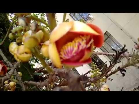 Flores da Couroupita guianensis (Abricó-de-Macaco) na Esaq
