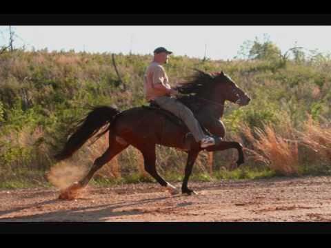 Racking Horse Stallion