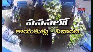 రైతును 'గట్టె'క్కించే పనస | Jackfruit Farming Information Guide | Agri Farming | Raithe Raju - CVRNEWSOFFICIAL