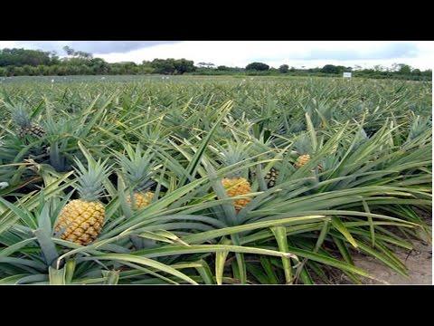 Curso Produção de Abacaxi - Plantio das Mudas - Cursos CPT