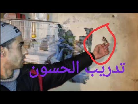 lwla3a fi meknes مبديع في ترويض طائر الحسون