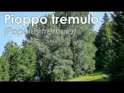 Pioppo tremulo (Populus tremula)