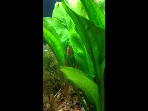 Red cherry shrimp amazon compacta sword cambomba furcata