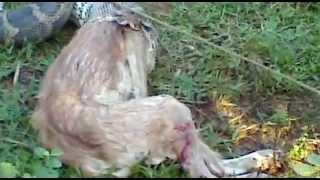 Óriás piton kutyát evett