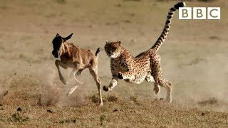 Cheetah reaches top speed of 55mph to catch its prey - The Hunt: Episode 5 preview - BBC One - BBC