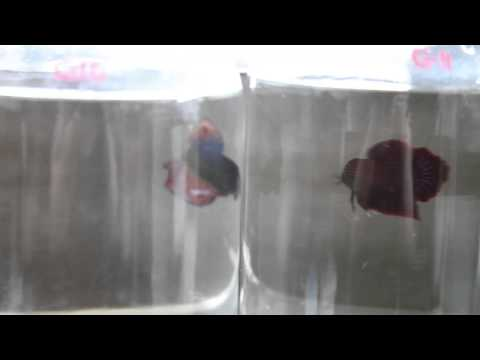 Giant HMPK Males - The Betta Shop 3/12/2014
