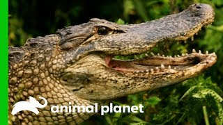 Huge 8ft Long Alligator Spotted On Woman's Plant Nursary | Gator Boys - ANIMALPLANETTV