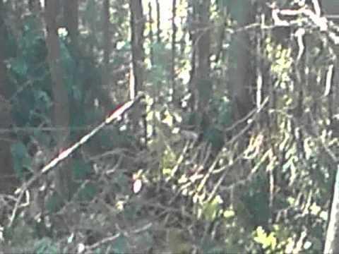 Praca w lesie, zrywka drzewa. Skawica