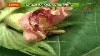 పత్తిపంట పాలిట కాన్సర్ లా గులాబీ పురుగు | రైతేరాజు | Raitheraju| CVR NEWS - CVRNEWSOFFICIAL