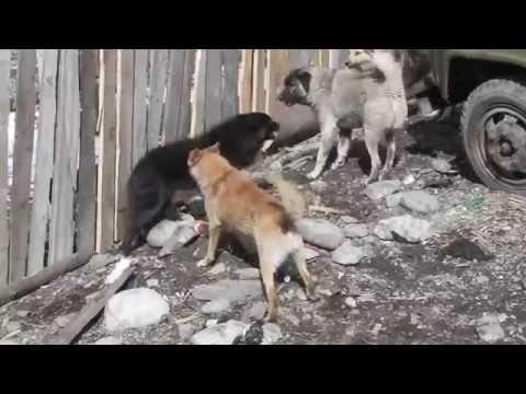 Walka psów w miejscowośći Mestia(Gruzja)