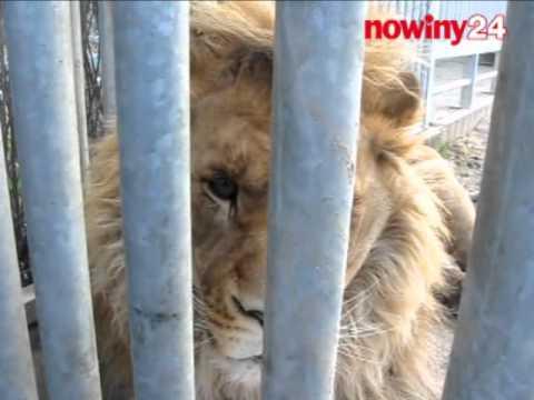 Lew Simba ma dziś trzy lata i waży prawie 300 kilo (nagranie sprzed kilku tygodni)