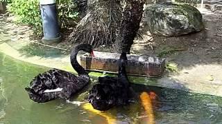Black swan feeding Koi fish