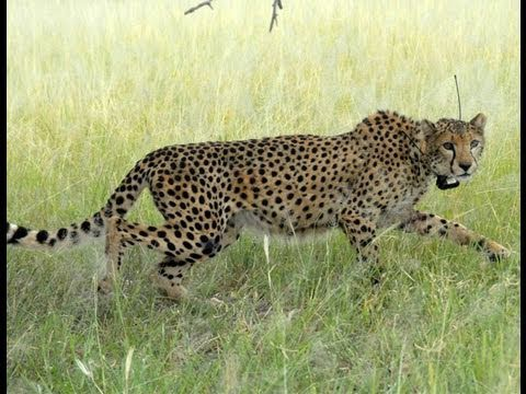 Special footage: Smuggled cheetahs released into wild