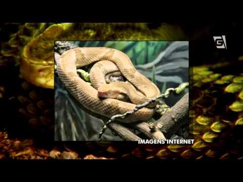 Vem Comigo - As Cobras da Ilha Queimada Grande e do Instituto Butantan (27/04/2014)
