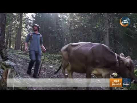 أبقار إيطالية تعود بعد إجازتها الصيفية من جبال الألب إلى مزارعها