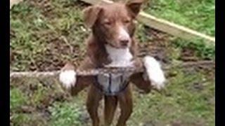 بالفيديو.. كلب بهلوان يتفوق على بعض بني البشر