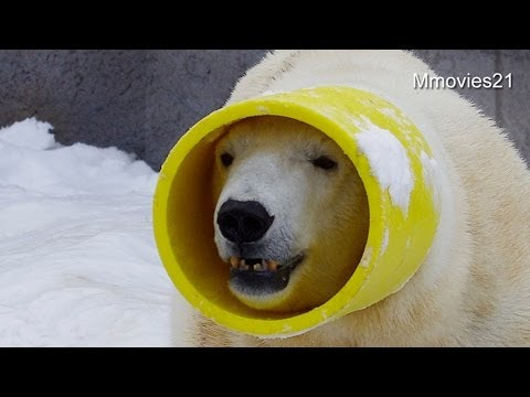 ガス管を被るキャンディ~Polar bear put the head in yellow tube