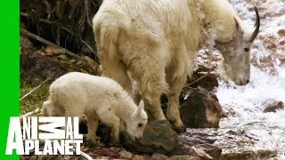 Baby Mountain Goat Learns To Follow In His Mother's Footsteps | North America - ANIMALPLANETTV