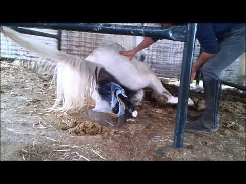 Equitación David Cabañero - Parto yegua