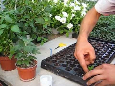 BUTĂȘIREA FLORILOR- Producător flori de grădină si de balcon- www.florighiveci.ro