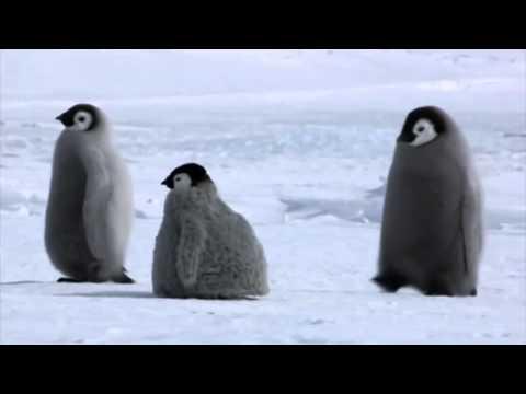 Baby Penguin Rovers Fool Adult Penguins in Antarctica