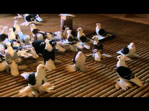 gołębie ozdobne(saksońskie tarczowe)