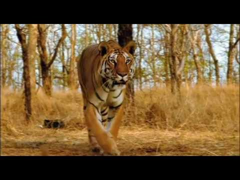 Ultimate Family of BIG CATS-LION,TIGER,CHEETAH &amp;JAGUAR(HD)Himanshu Singh Gurjar- EPIC FIGHT TO SAVE