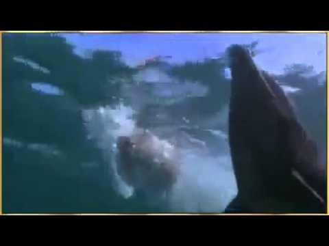 Golfinho salva Cachorro do ataque de tubarão