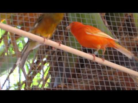 Canaries Singing
