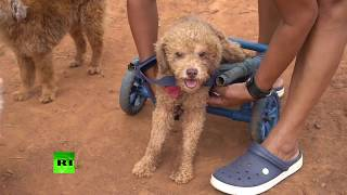 'Second chance': Paraguayan animal rescue worker builds handmade wheelchairs for pets - RUSSIATODAY