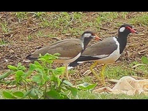 Red-wattled Lapwing - Birdwatching Thailand