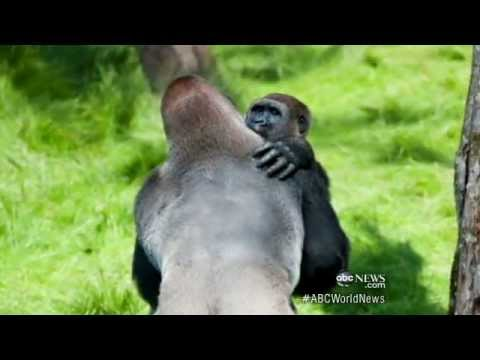 Gorilla Brothers Embrace in First Meeting After Years Apart