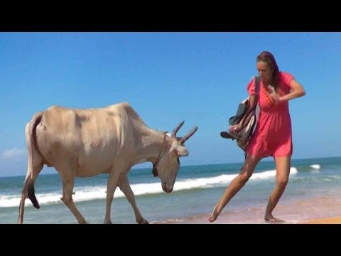 HOW TO AVOID COW ATTACKS IN INDIA