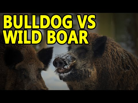 AMERICAN BULLDOG VS WILD BOAR | WORKING BULL BREEDS