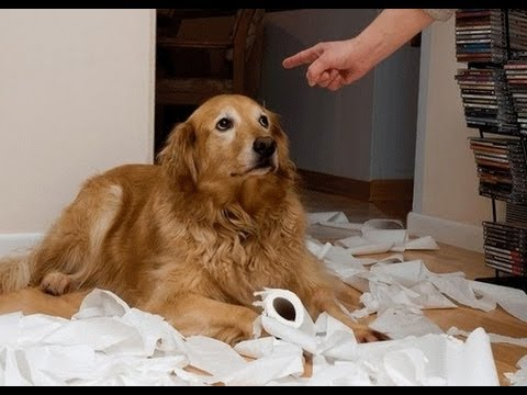 Ultimate Guilty Dog Video Compilation