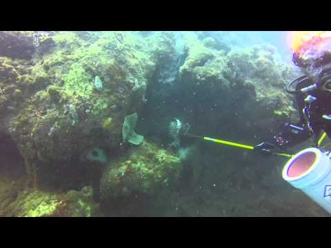 Fundacion Clear this Fish Panama cazando peces Leones