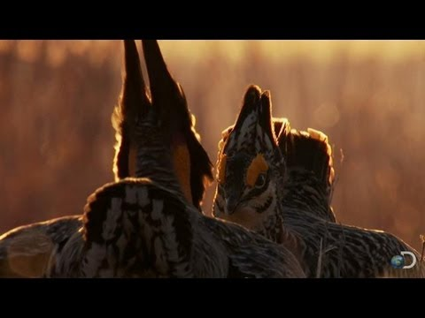Battle of the Prairie Chickens | North America