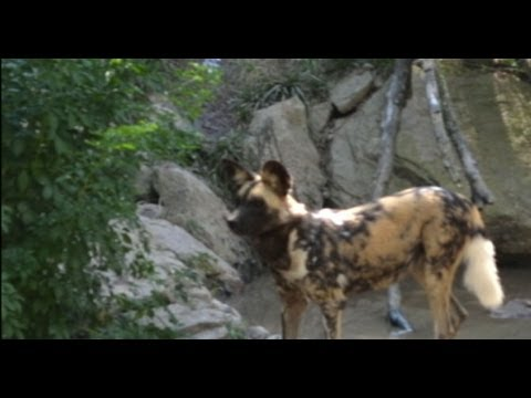 Toddler at Pittsburgh Zoo Killed in Painted Dog Exhibit
