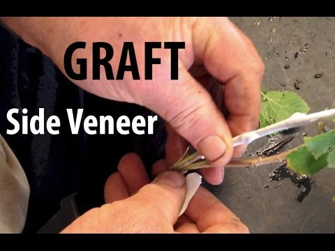 Grafting Fruit Trees - How to Do a Side Veneer Graft