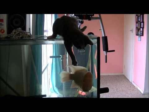 Burmese x Ragdoll kitten playing with Red Devil (fish)
