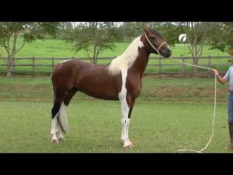 História Cavalo Mangalarga Marchador