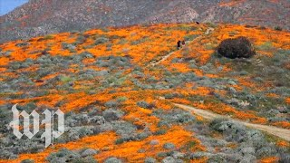 'Super bloom' of wildflowers flourishes in California - WASHINGTONPOST