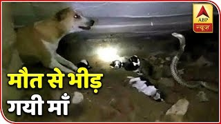 Namste Bharat: Video shows fierce fight between cobra and a dog saving her puppies - ABPNEWSTV
